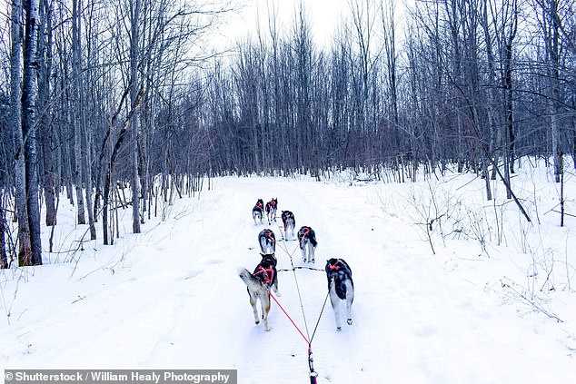 Paws for thought: Sled dogs pictured in Quebec (stock image)