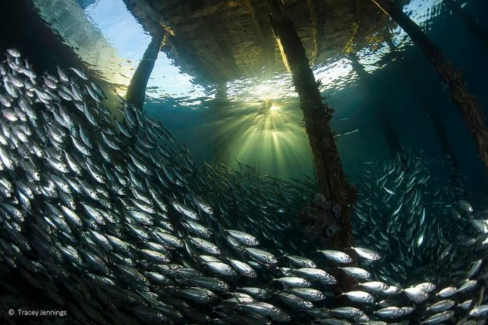 Another of Jennings' entrances from under the dock captures thousands of small fish that traverse through wooden piles under water