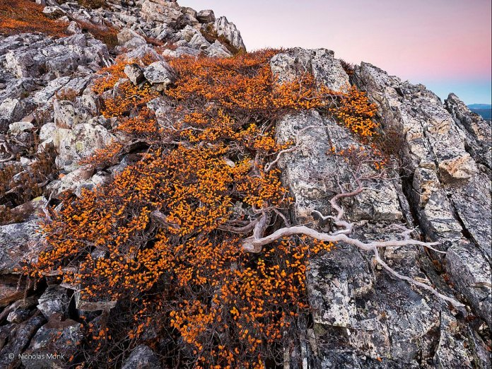 A sprawling tree that spreads its roots along a rocky wall in Tasmania was captured on film by photographer Nicholas Monk