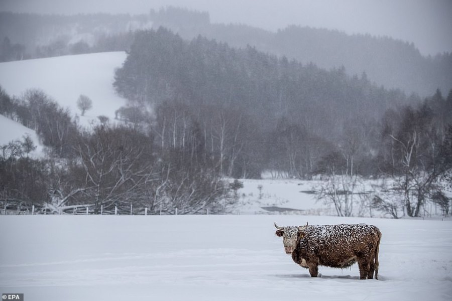 A cow stands in a snow covered field at Ore mountains on the Czech-German border near village of Vysluni, Czech Republic
