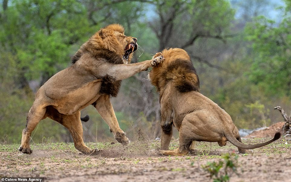 Lion King Lioness Falling