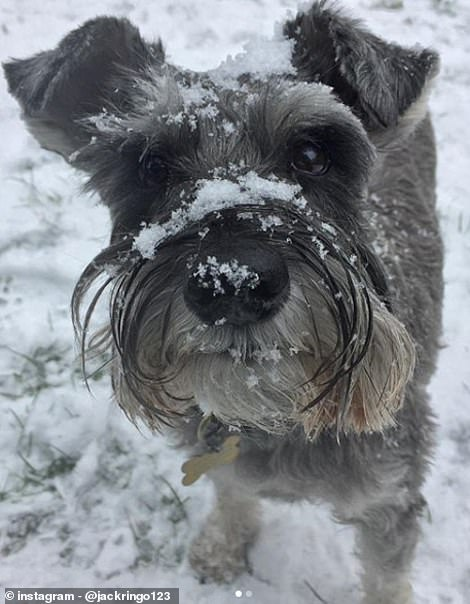 Jack the miniature schnauzer enjoying the snow in Emsworth
