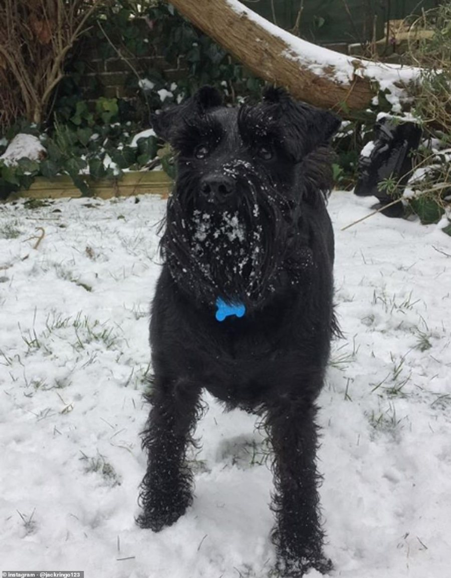 Ringo, a four-year-old miniature schnauzer, ready to catch a snowball in Emsworth, Hampshire