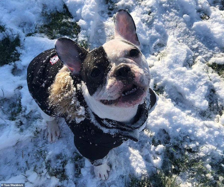 Tom Sheldrick's French Bulldog Maisie enjoys the snow in Royston, Hertfordshire