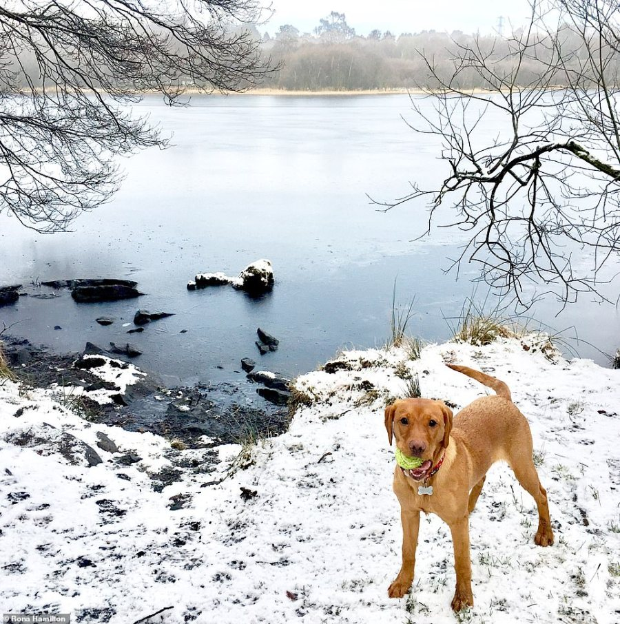 MailOnline reader Rona Hamilton photographed Bracken the Labrador in the snow at Mugdock Loch in Stirlingshire