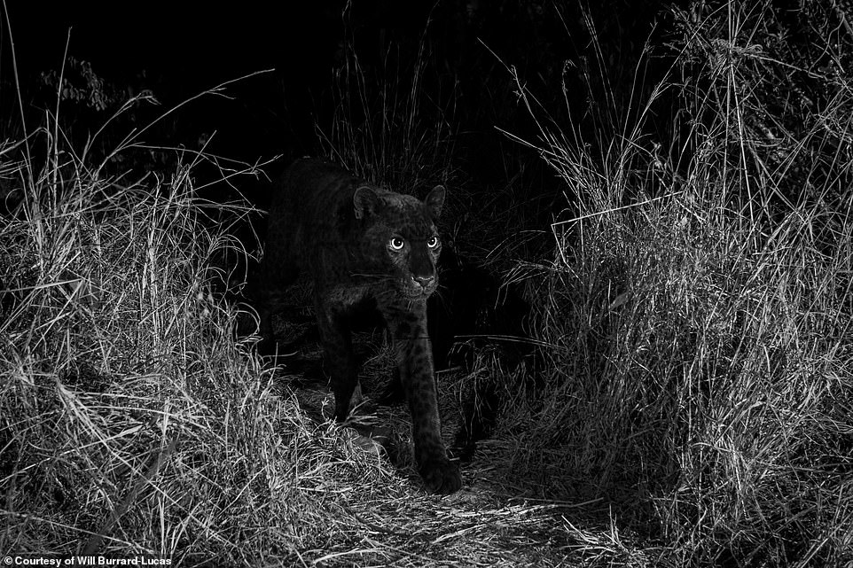 Nicholas Pilfold PhD, a biologist with San Diego Zoo Global who is currently researching leopards at the Loisaba Conservancy and helped Burrard-Lucas with his photography project, confirmed that the recent on-camera sighting was extremely rare