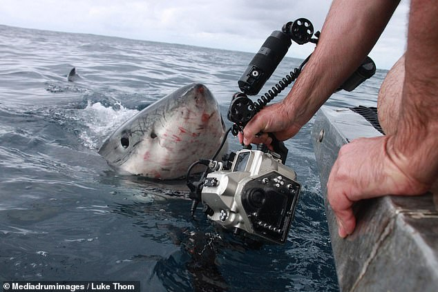 Commercial abalone diver Luke Thom caught the moment with a camera he was dangling over a shark cage