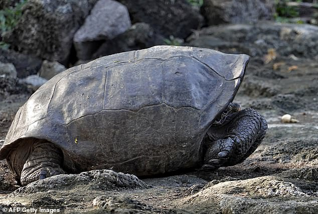 An adult female female Fernandina Giant Tortoise (Chelonoidis phantasticus) was discovered by members of the Galapagos National Park and the US NGO Galapagos Conservancy (pictured)
