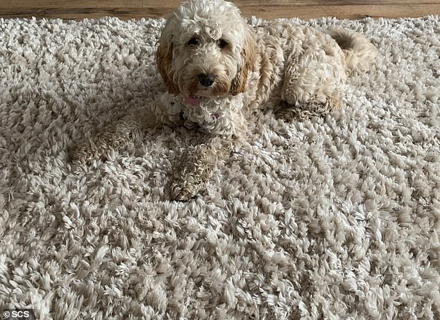 Maddie, a nine-month-old pockapoo poses on her family's rug.  Maddie won the nationwide Sofa Carpet Specialist (SCS) competition with her amazing camouflage abilities