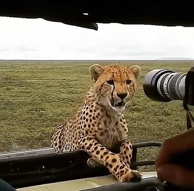 The video, which was uploaded to the Wonders of Africa Instagram page, shows two cheetahs poking their heads above the side of the vehicle - before the unidentified man begins thrusting his camera at them