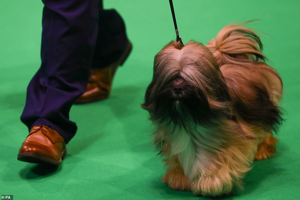 Have no fear, this furry competitor can count on his owner's expert hand to guide him around the arena
