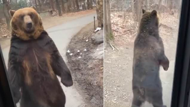 Bear Walks Like A Man In Front Of Bus Full Of Shocked Tourists