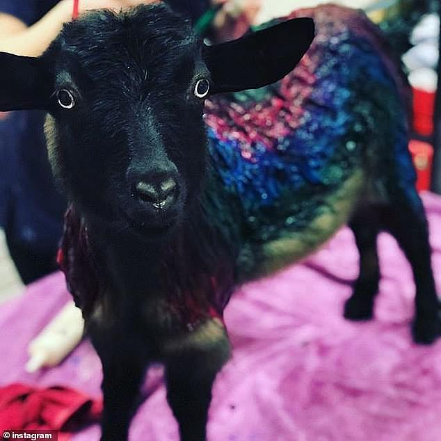 One amusing highlight of their sex life was when the pair were in an intimate moment and were interrupted by her pet goat Phyllis (pictured)