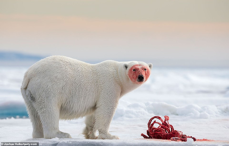 A polar bear looks at the camera with a bloody face after tackling a seal on the ice, 80 degrees north of Svalbard in the Arctic