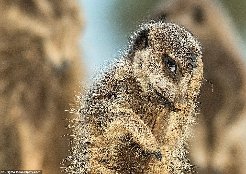 A cute meerkat scratches its head and stops to pose for the camera as the sun rises over Little Karoo in South Africa