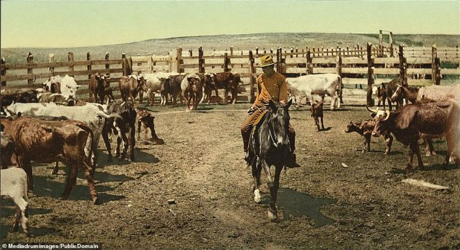 A cowboy rounding up his cattle on a Colorado ranch. Although the land was fertile and rich, it did not take long for the huge herds of American bison that dominated the plains to be wiped out, as their pelts and meats were hugely desirable and easy to come by. Much of Colorado was lawless with outlaws and rustlers roaming the territory