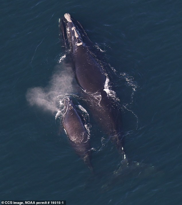 Three pairs of North Atlantic right whale mothers and calves have been sighted this month in Massachusetts' Cape Cod Bay, US researchers report. Pictured: whale #3317 and her calf
