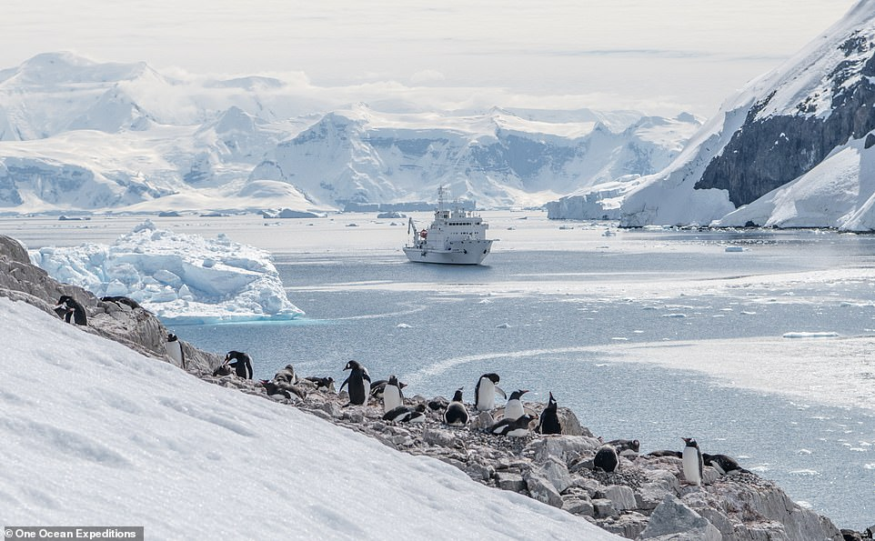 One Ocean Expeditions specialises in adventure and wildlife-watching cruises to the polar regions. Above, one of the firm's ships sails towards a colony of penguins in Antarctica while steering clear of icebergs. One Ocean Expeditions uses smaller ships as vessels carrying more than 500 guests are not allowed to land their passengers ashore in Antarctica
