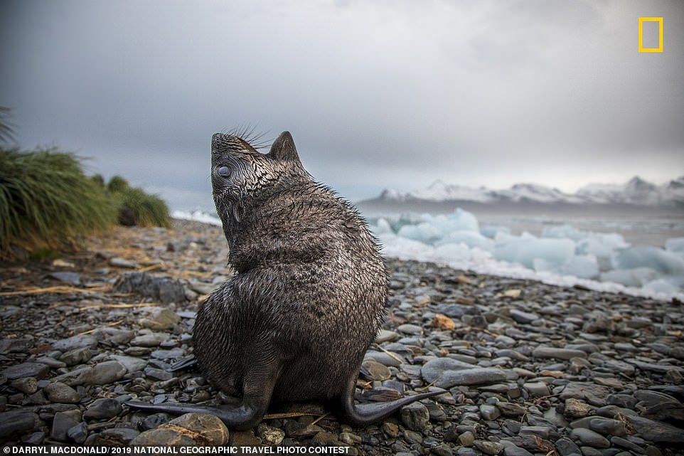 Darryl Macdonald took this shot of a fur seal pup yawning while visiting South Georgia. The image was taken at sunrise, while Darryl was out photographing chunks of ice. He said the area is one of the few places he has visited in his life that is 'still truly wild'. The photographer added: 'The density of the animal populations is staggering and while working on a research project there, I did my best to keep an appropriate distance from the animals'