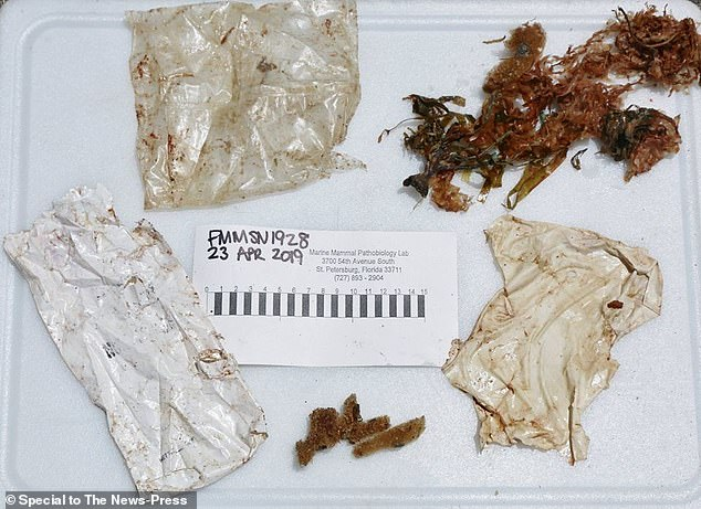 Biologists said they found two plastic bags and a shredded balloon during a necropsy of the young rough-toothed dolphin