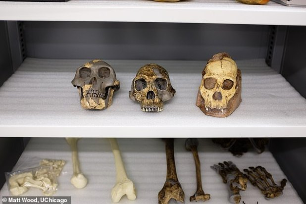 A new study says it has ruled out a link between the fossil Australopithecus sediba and humans. Fossil molds of Australopithecus afarensis (left), Homo habilis (center) and Australopithecus sediba (right)