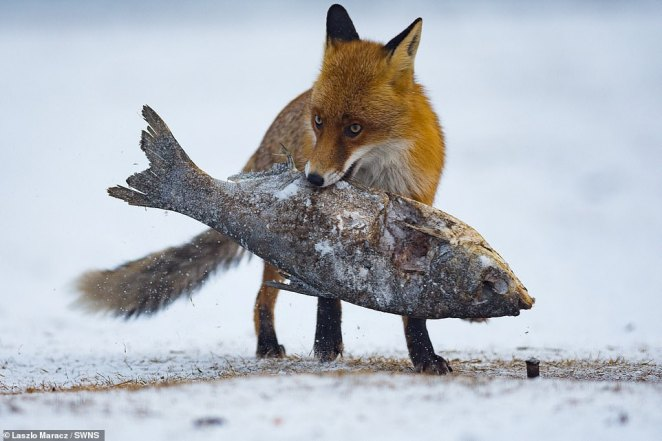 Snapper Laszlo Maracz who took this snap of a fox stealing fish was among the many entrants from across the globe were highly commended