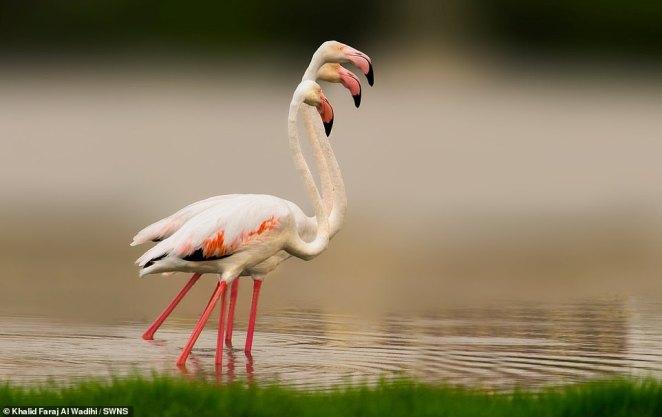 This three headed five legged flamingo is actually three birds in a line, shot in Oman by 39 year old Khalid Faraj Al Wadihi.