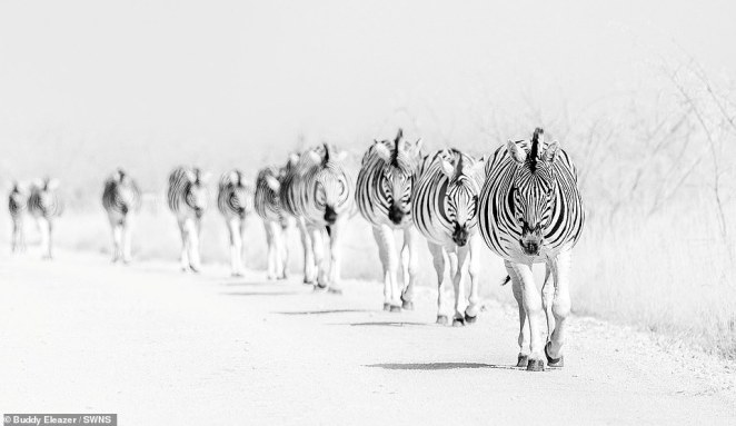 Also highly commended was a picture by Buddy Eleazer of a group of zebras walking in a line in Namibia