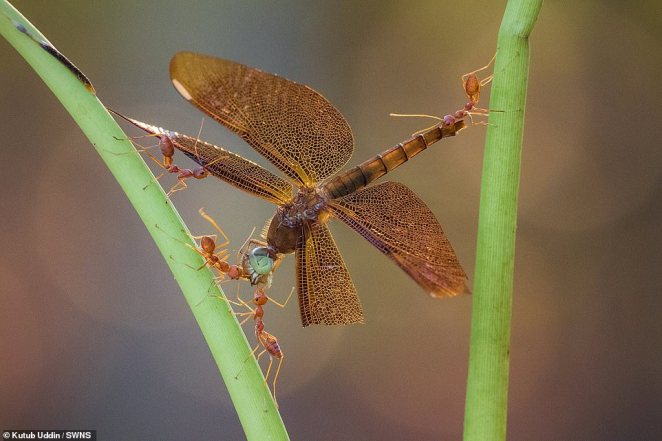Kutub Uddin photo of a dragonfly being carried by four red ants came second in the Natural World competition
