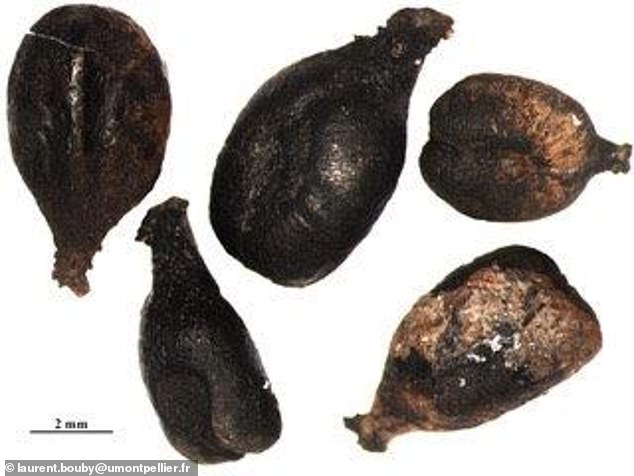 Savagnin Blanc grapes have been used in wine production for at least 900 years, a new study has found.Seeds identical to those of the modern grape (pictured) - not to be confused with Sauvignon Blanc - were discovered at a dig site in France
