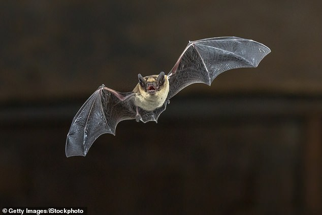 Beware the day bat: Rabid bats, which may act erratically and be overly active in the daytime are now the leading source of the life threatening infection, the CDC warns