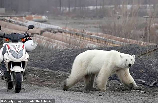 The polar bear was seen wandering around industrial area of Norilsk and walking in busy roads looking for food