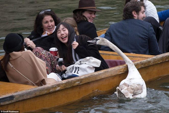 A photograph taken in 2015 shows Asbaby the swan attacking punters on the River Cam in Cambridge