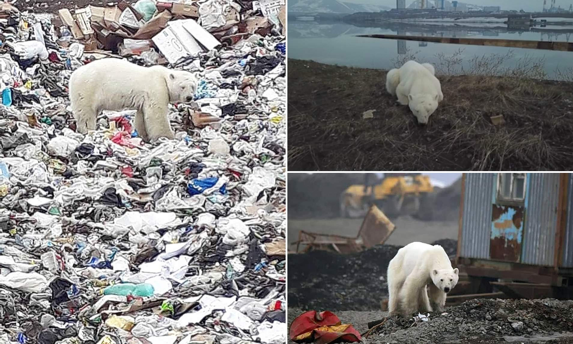 Lost Polar Bear Wanders Onto Garbage Pile After Straying 950