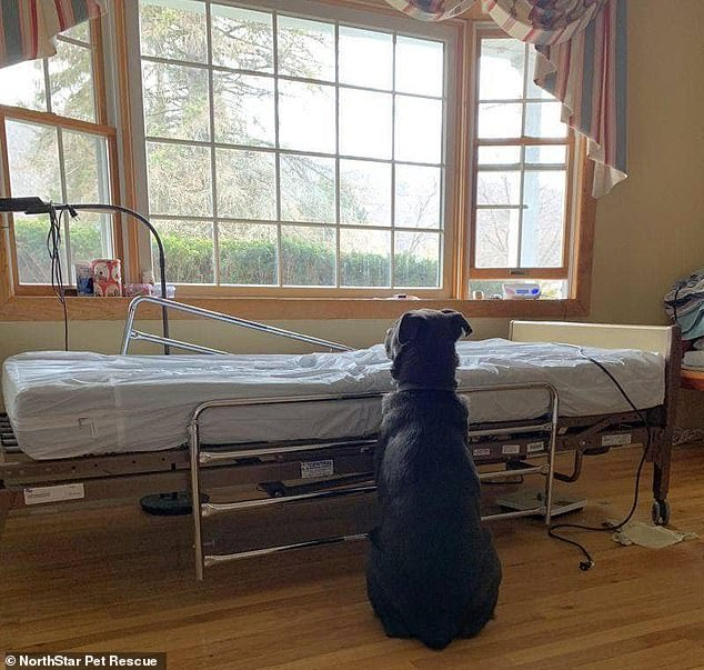 The image of three-year-old Lab mix Moose waiting for its owner by his bed not knowing he has passed away has gone viral