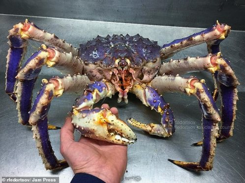 A king crab, a north Pacific species which can grow up to six feet (2m) across, and is heavily fished for its meat.