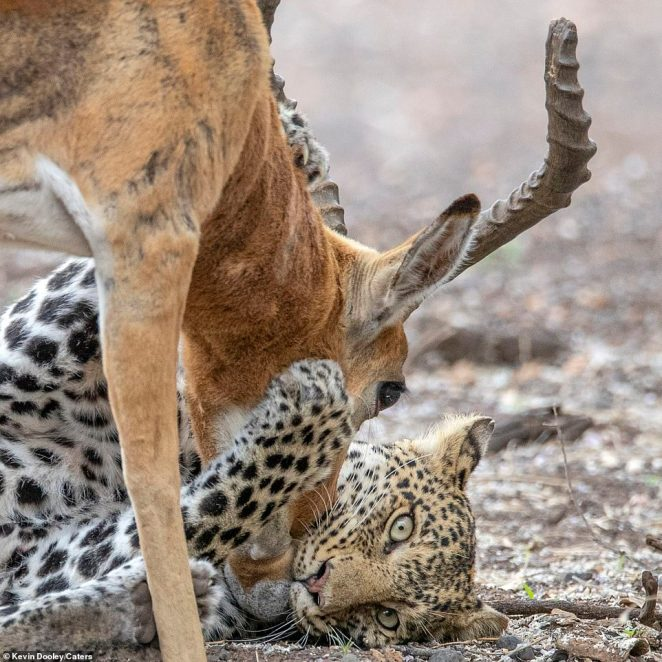 Relax: The leopard holds on tight to the impala's face as it lies down on the dried up river bed. It appears to calm down as it realises there is no escape for its prey