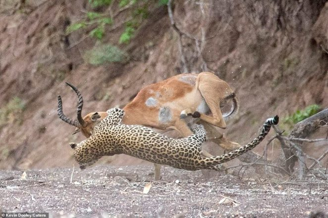 Defeat: But the forsaken animal can do little as the predator sinks its teeth into its face, wraps its claws around and holds a vice-like grip
