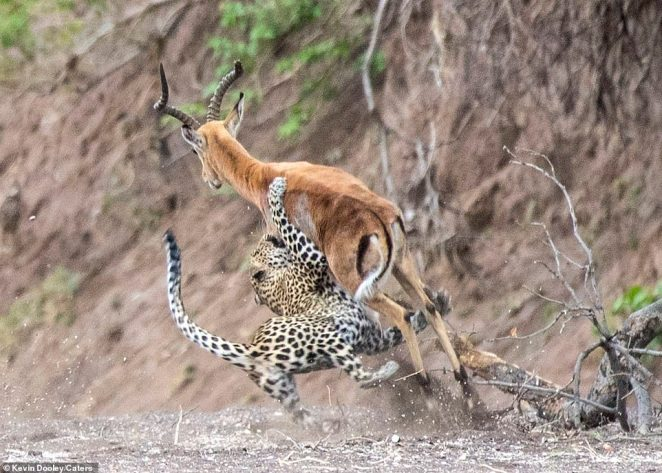 Photographer Kevin Dooley, 57, took the stunning shots after trailing the leopard for a few days on the Mashatu reserve in the Tuli region of Botswana