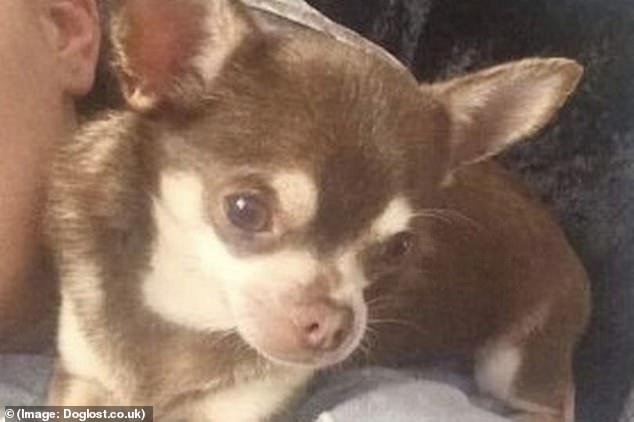 8 Chihuahua Dog Breeds That Will Melt Your Heart