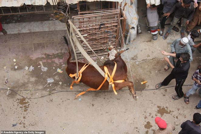 Touch down: After landing, the cow will be taken off to the livestock market ahead of the Muslim festival of Eid al-Adha