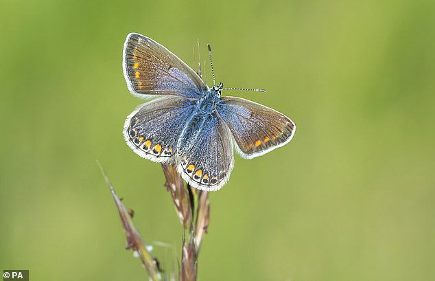 Butterfly Conservation is urging people to help monitor the common blue by taking part in the Big Butterfly Count population survey. Pictured: A female common blue