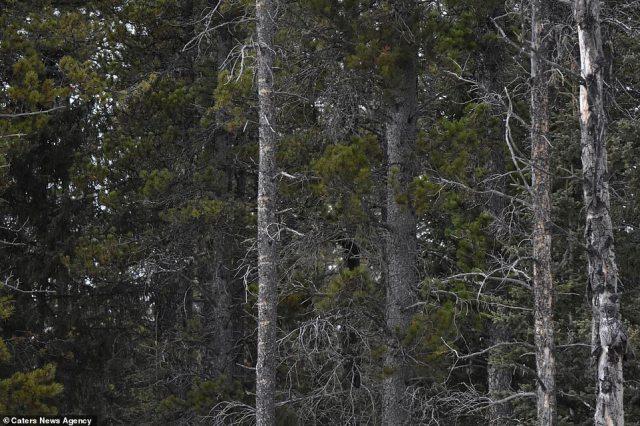 ¿Puedes ver este juguetón búho gris que se ha camuflado dentro del bosque, por lo que es muy difícil de detectar?