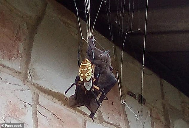 The shudder-inducing images show a giant banana spider (above) wrap her long legs and web around a bat on a Texas farm
