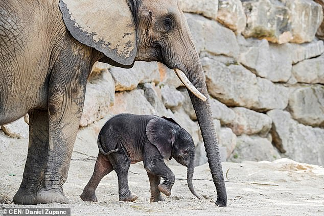 Refugees: The baby elephant was named after a river in the Democratic Republic of Congo, and mother Numbi, 20, already has raised two baby elephants after coming to Vienna in 2009