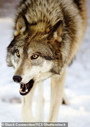 Parks Canada confirmed the wolf was killed after being tracked down (stock image)