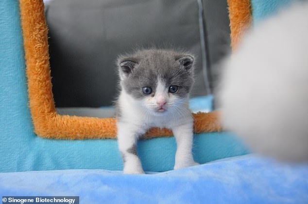 A kitten named Garlic (pictured) was born inside the laboratories of Sinogene Biotechnology Company in Beijing, according to reports in state-owned media