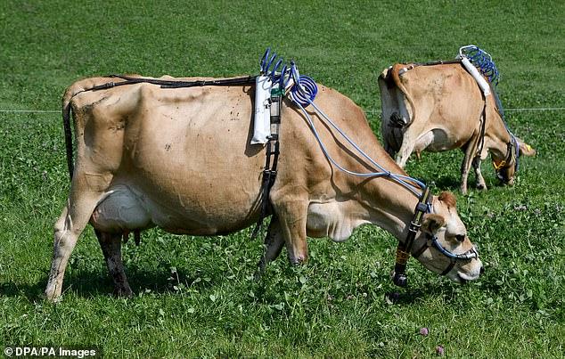 Investigadores de la Universidad de Kiel en Alemania han atado arneses portátiles a su ganado (en la foto).  Las vacas siguen una dieta especial que se ha desarrollado para reducir las emisiones de metano.
