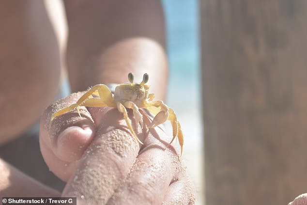 The crabs had long been known to be able to make rasping sounds by rubbing their claws, but the source of the mysterious internal noises had not been clear