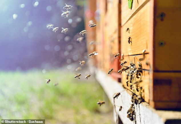 Researchers exposed honeybees to either the positive experience of nursing a 4-day old queen bee larvae, or the negative one of encountering an 'intruder' bee, as if at the entrance to their hive — before decapitating them and extracting their brain